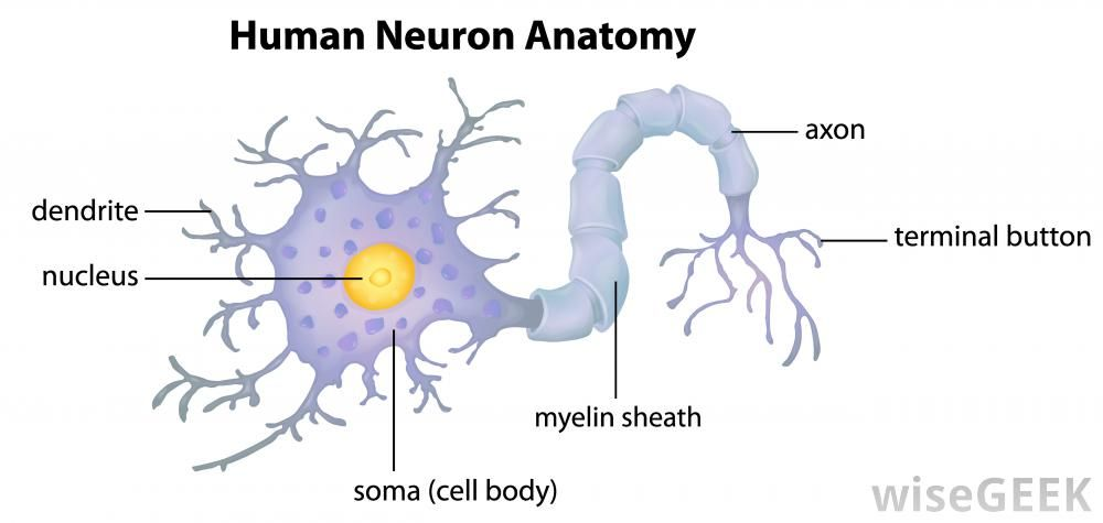 2) Nervous tissue...Here we can see the anatomy of a single neuron ...