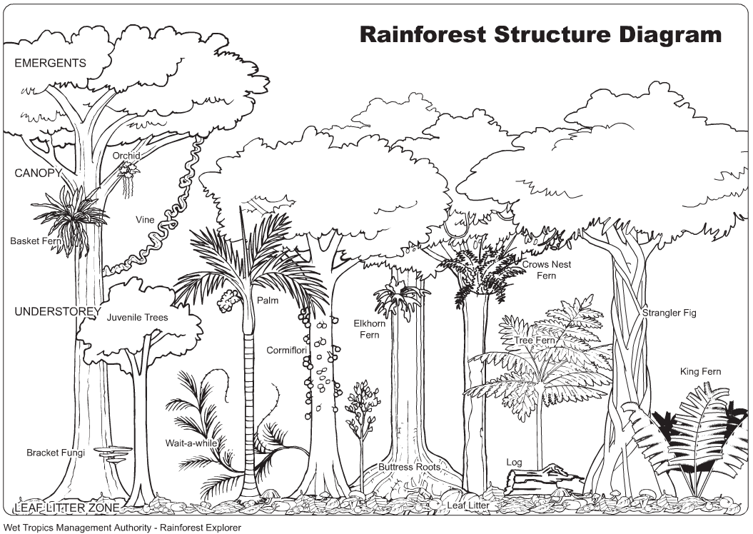 Worksheets Layers Of The Rainforest Worksheet tropical rainforest drawing with color pinterest color