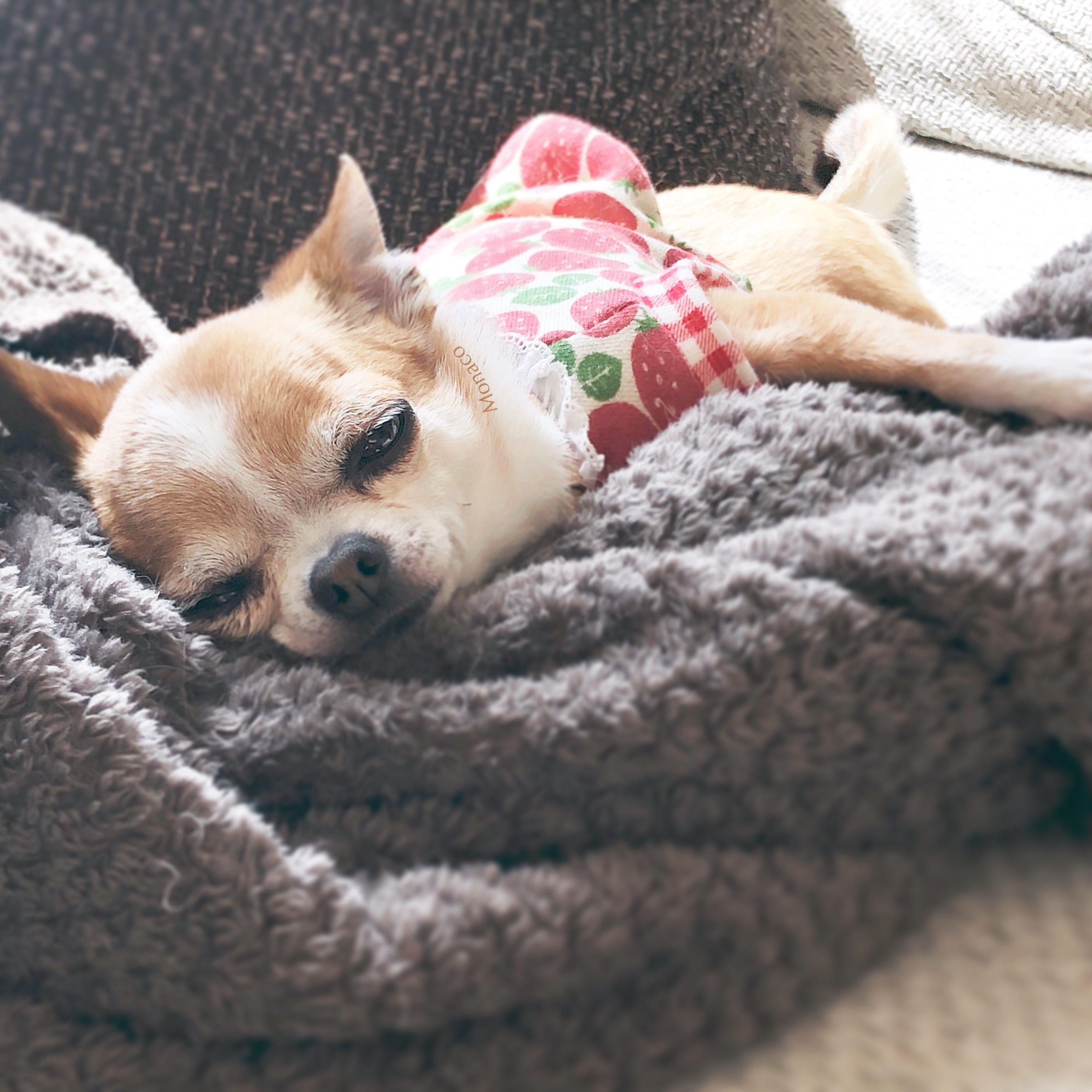 Pin By Sharon Carter On Pets Pet Stuff Chihuahua Love