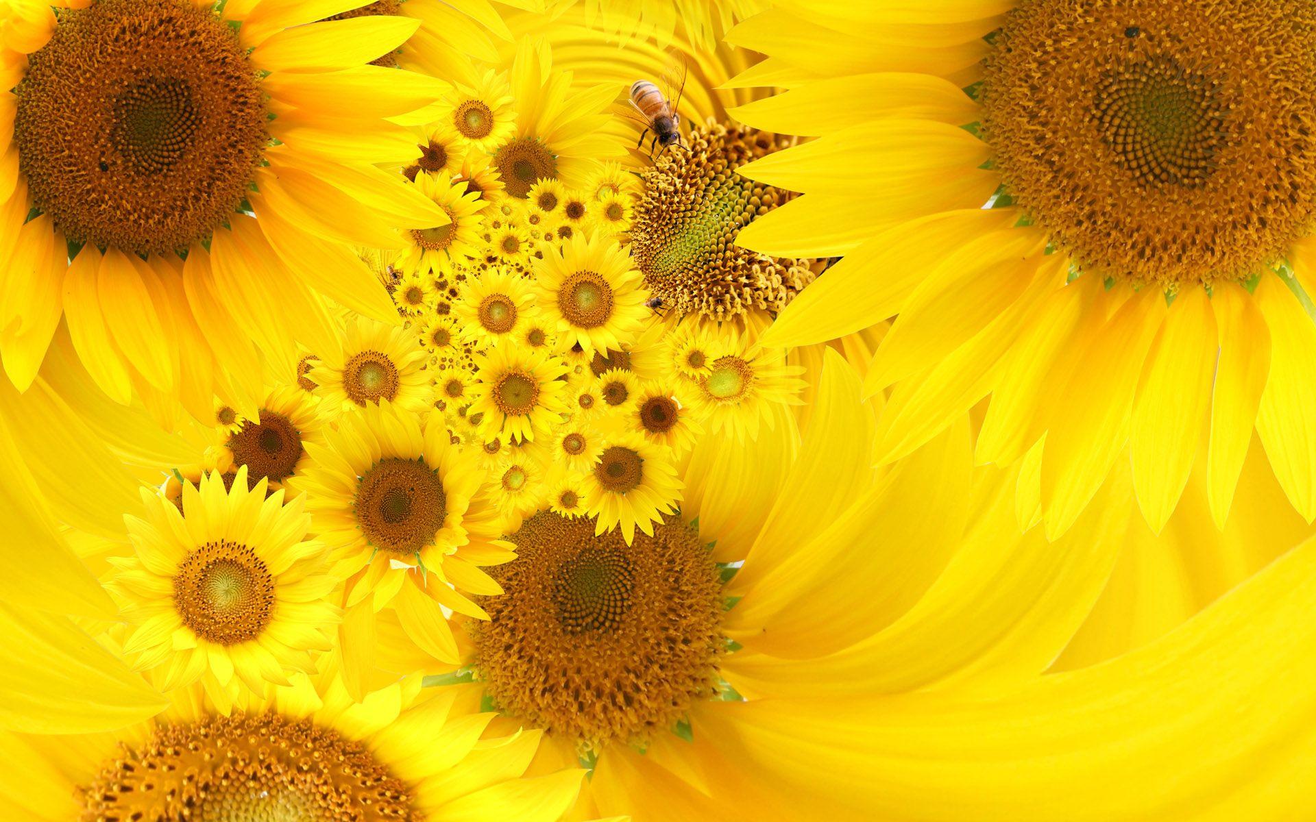 Free Beautiful Yellow Sunflowers computer desktop