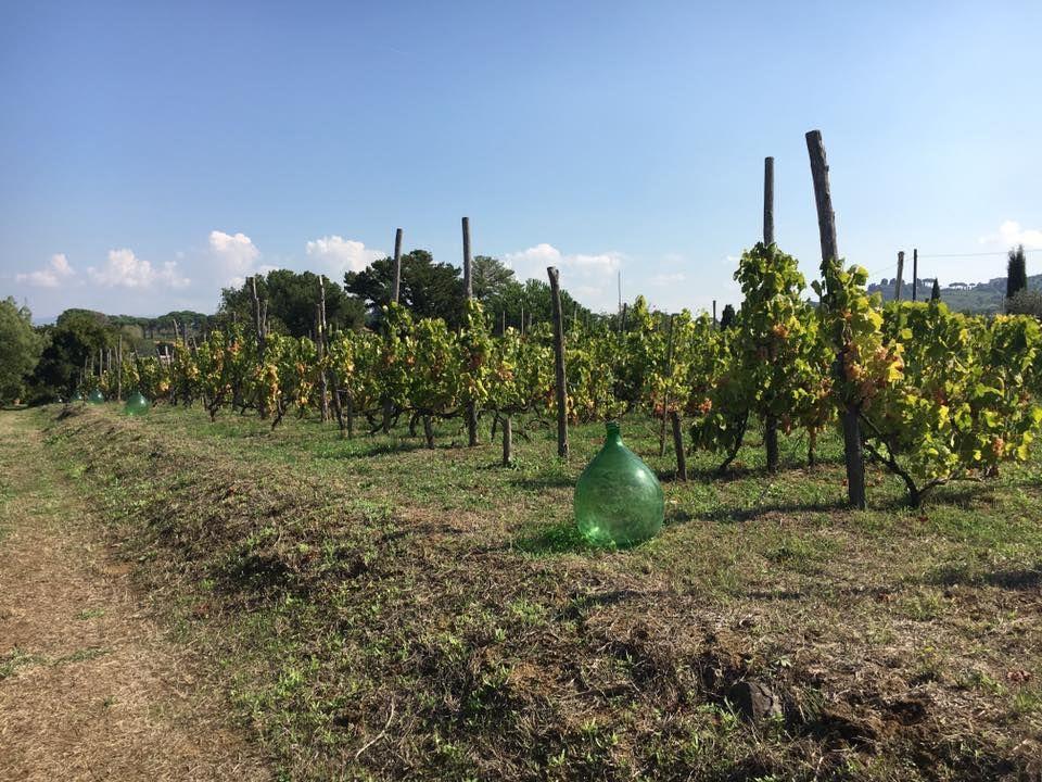 Ancient Vineyard At Minardi Winery In Frascati