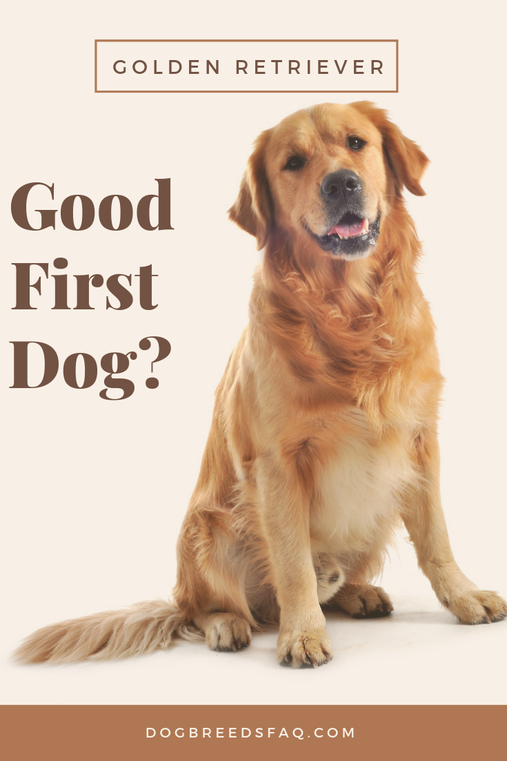 Is A Golden Retriever A Good First Dog Dog Breeds Faq Golden