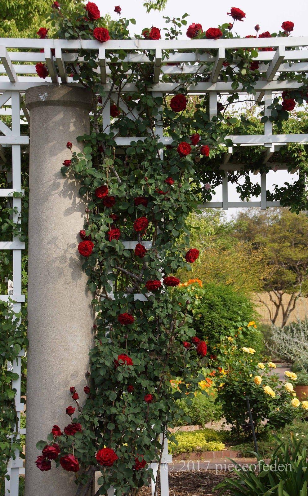 Trellis arbor at Huntington rose garden, with climbing \'Don Juan ...