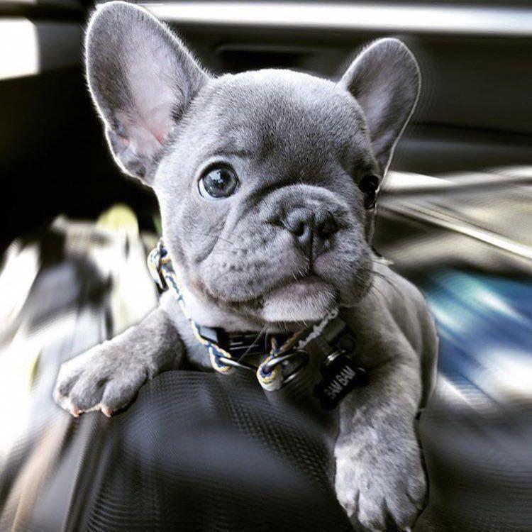 The Courageous Bulldog Dogs Exercise Needs Bulldogsarethebest