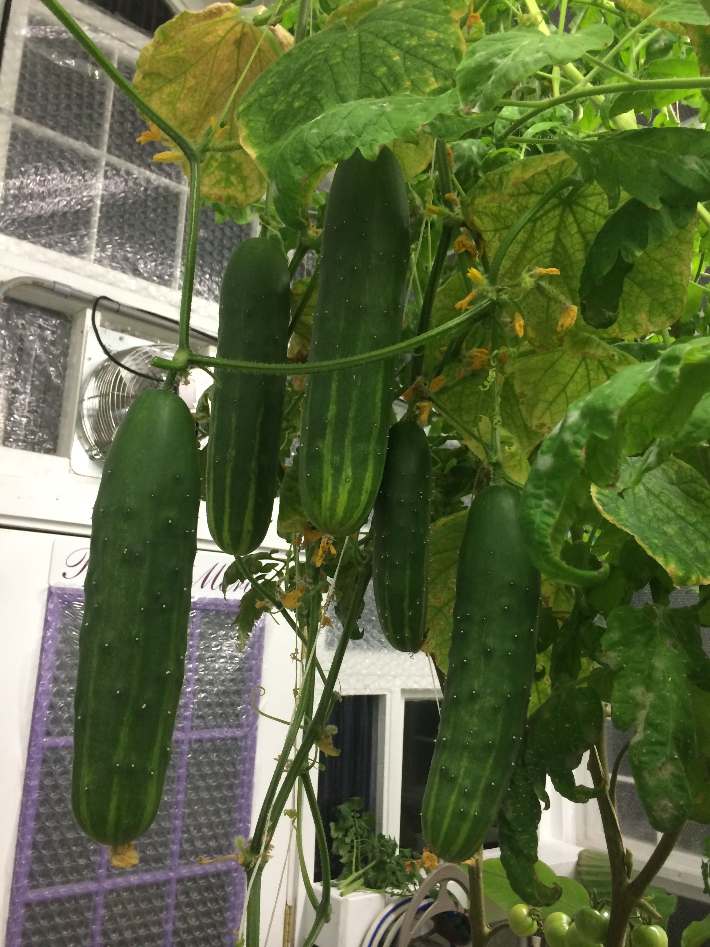 hydroponic grown cucumbers from dutch bucket setup [ 2448 x 3264 Pixel ]