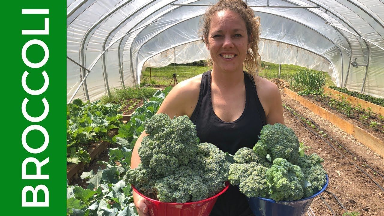 Broccoli harvestgrow cook eat and freeze in 2020