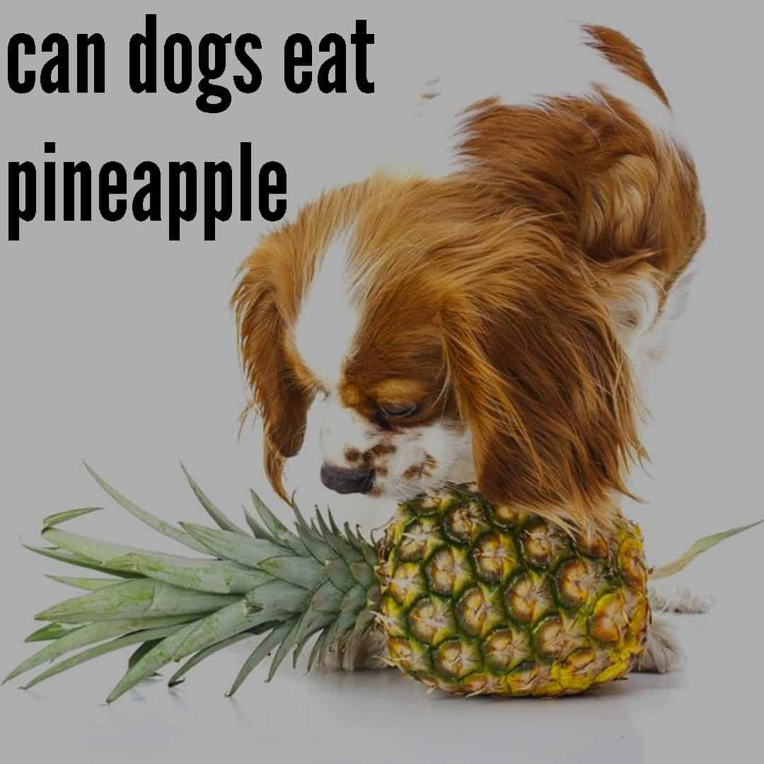 Can dogs eat pineapple can dogs eat pineapple best fruits
