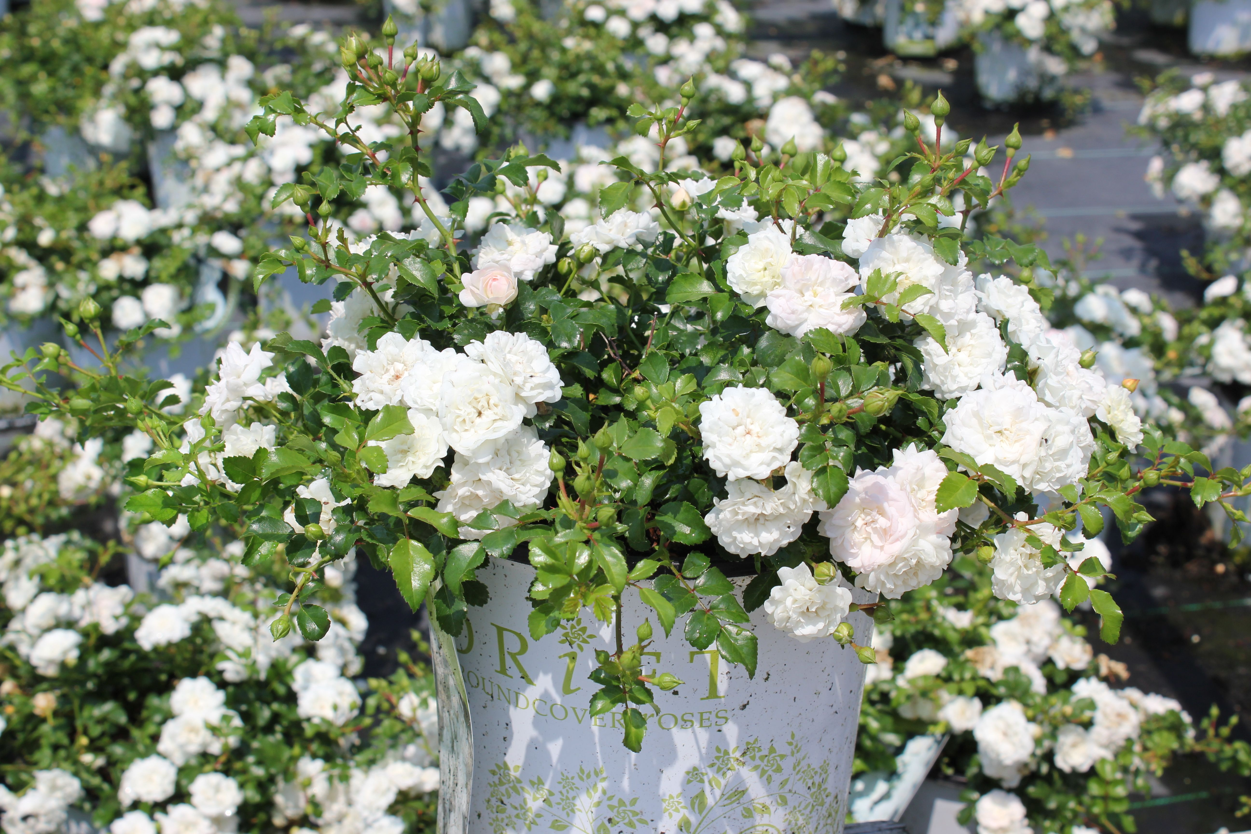Roses In Garden: Icy Drift Roses... Great Groundcover!