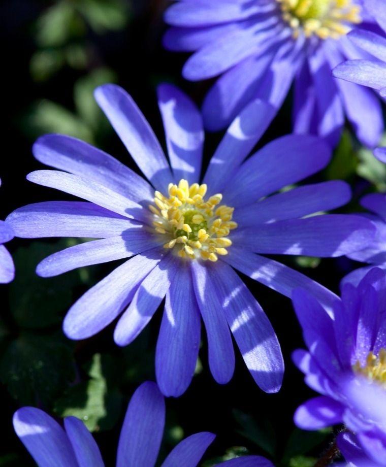 Anemone Blanda Blue Shades Anemone Blanda Flower Bulb Index Bulb Flowers Wood Anemone Anemone