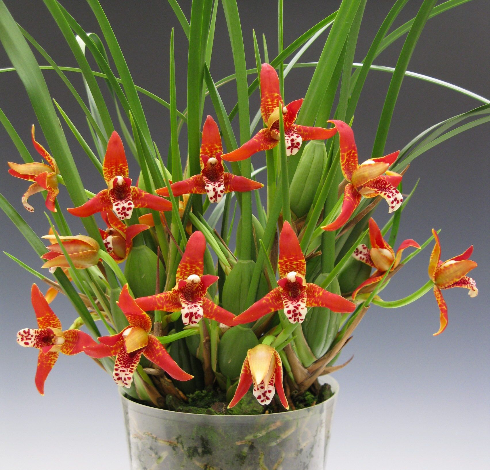 Maxillara Tenouifolia The Orchid Flowers That Smell Like Coconut Orchids Beautiful Orchids Orchid Flower Orchids