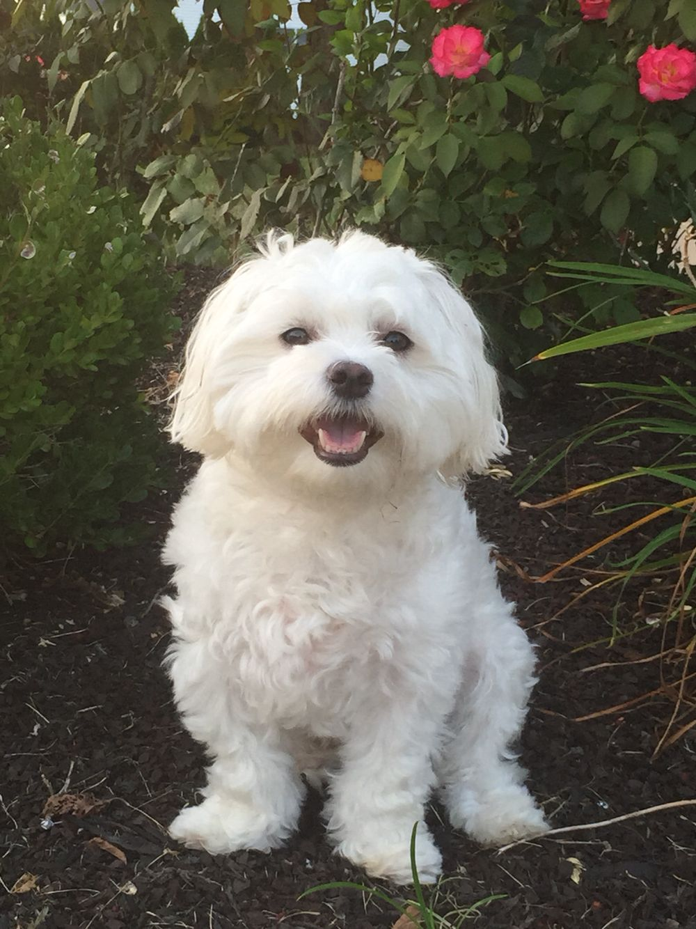 Bentley Maltese Dog Puppy Love Maltese Dogs Maltese Puppy
