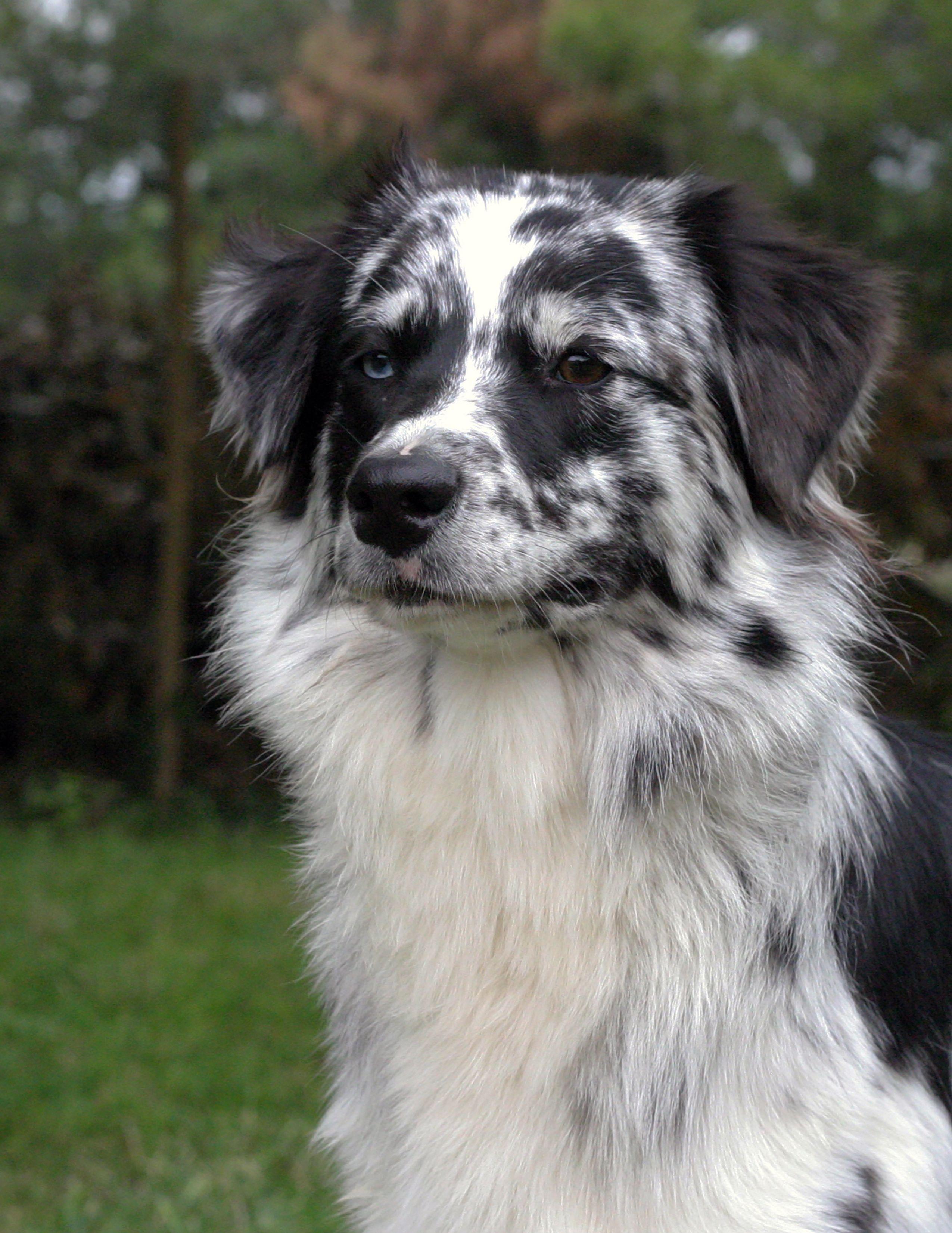 Izzie Australian Shepherd Australian shepherd, Dogs