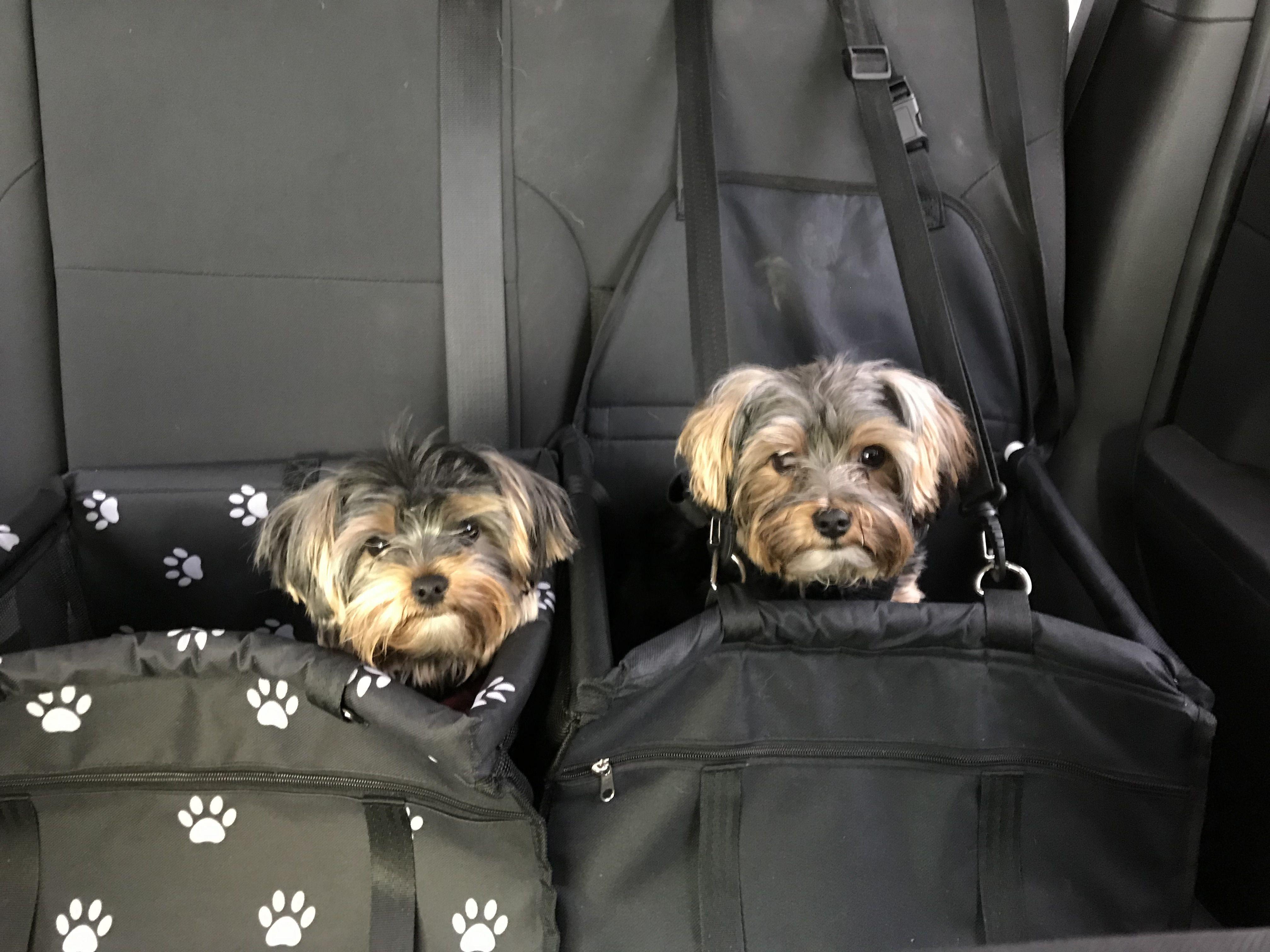 Adopt Royal Royce On Dog Door Yorkshire Terrier Puppy Car Seat