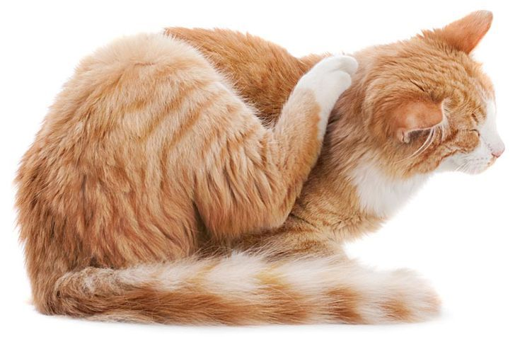 Can You Get Fleas From A Cat How Did My Indoor Cat Get Fleas Aspcaadoptacatmonth Fleasincats Catfleas Indoorcatsandfleas Fleaprotectionforcats Cat Has Fleas Cat Fleas Cat Care