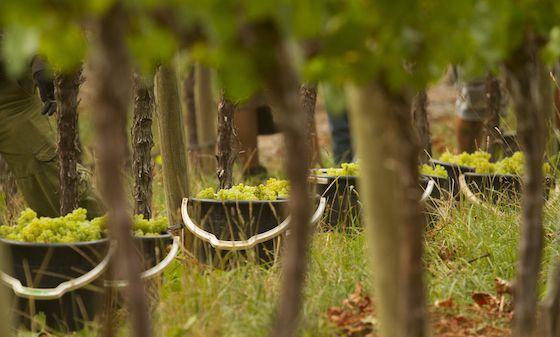 Wolf Blass Chardonnay Harvest