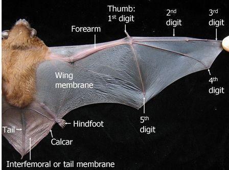 Пин от пользователя L на доске Bats   Летучие мыши ...