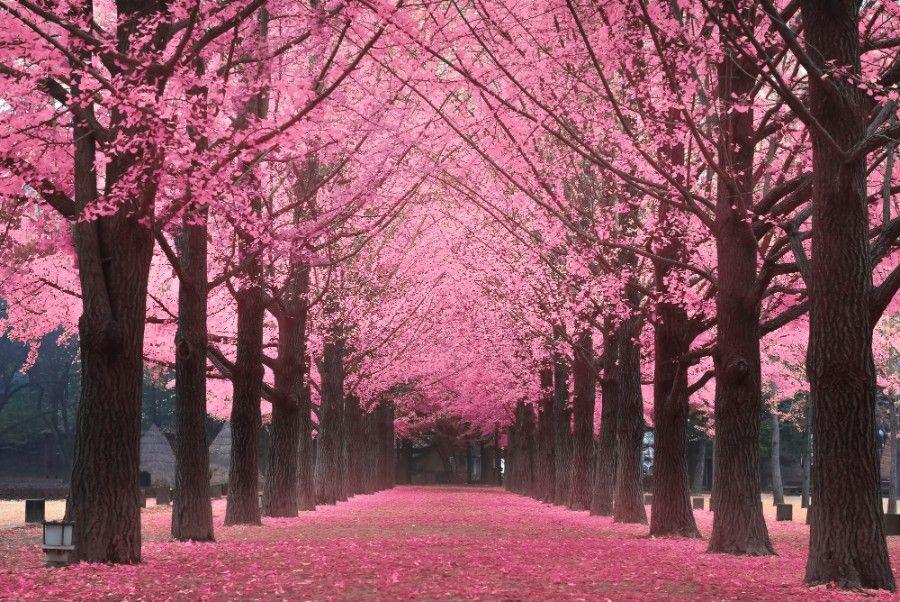 Cherry Blossoms In South Korea Cherry Blossom Spring Season Nature Beautiful Nature