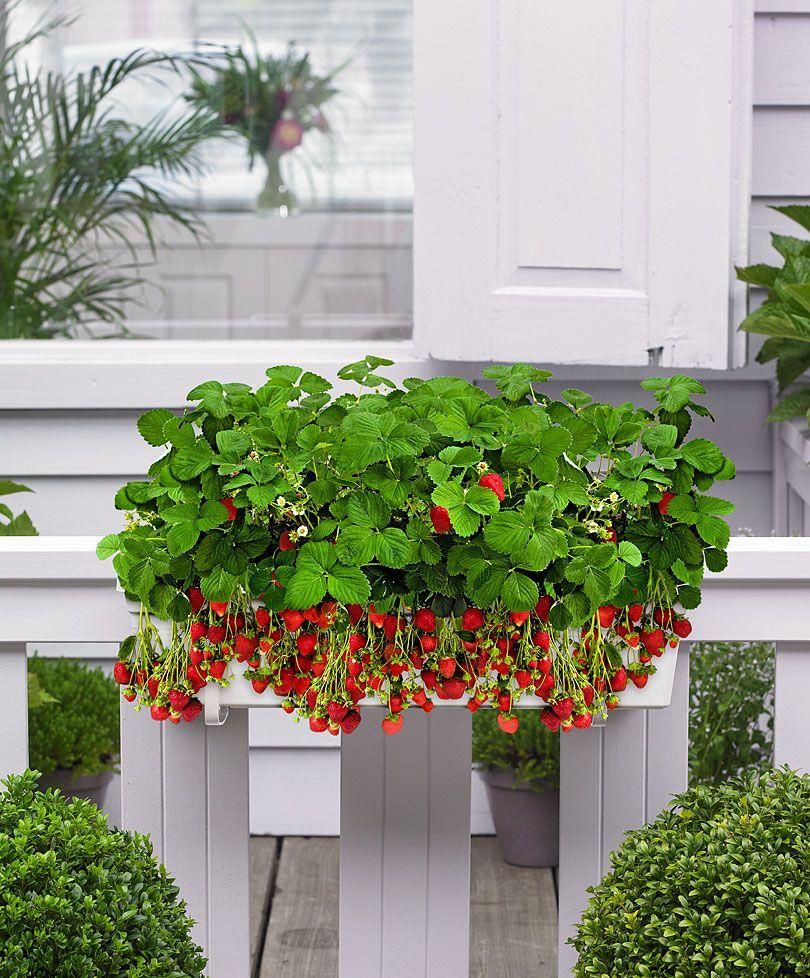 Balkonkasten mit 8 Erdbeerpflanzen Gemüse & Obst