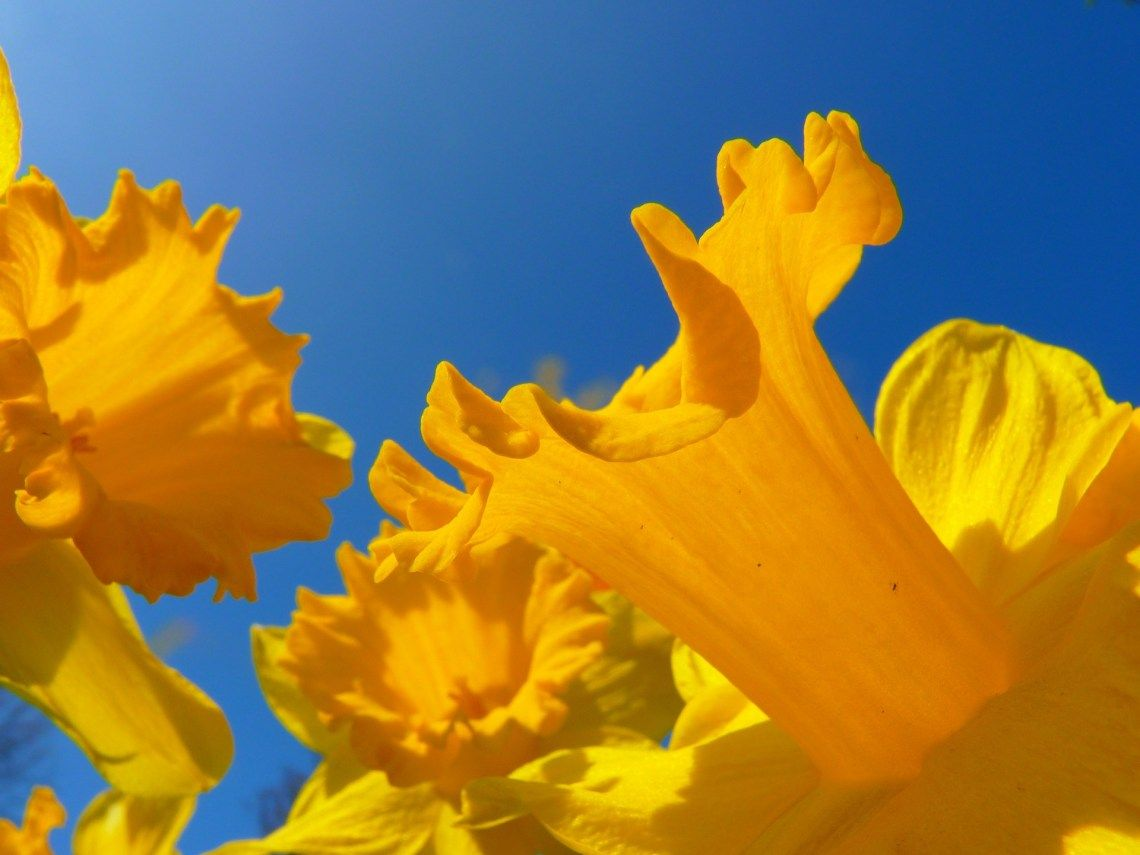 Marie Curie Daffodil Campaign In 2020 Birth Month Flowers Daffodils Daffodil Flower