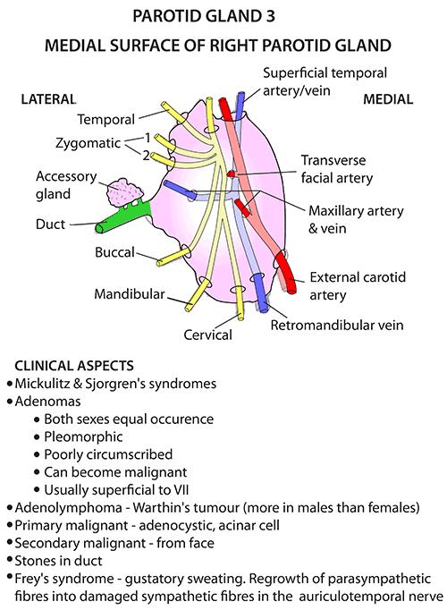 Instant Anatomy Head And Neck Areasorgans Parotid Region