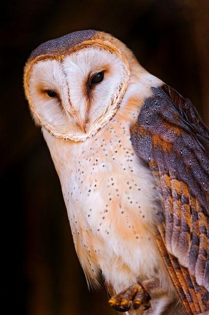 Gorgeous owl on black