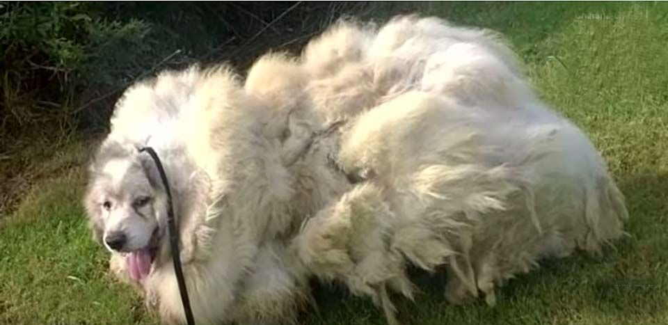 Trapped in a Barn Stall His Entire Life, 7-Year-Old Dog is Reborn 35 Pounds Lighter! (Video)  Trapped inside his overgrown coat, dirt and feces blocked the door to the barn stall where he had been living -- so much that it had to be shoveled away.