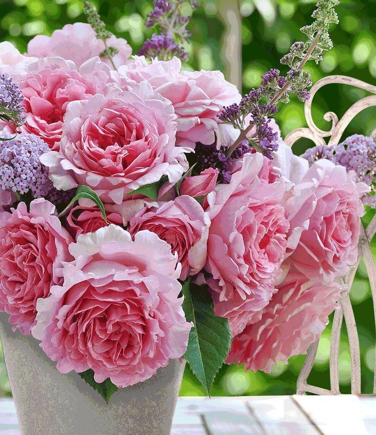 Kletter-Rose u0027Bienvenue®u0027 Rose Pinterest