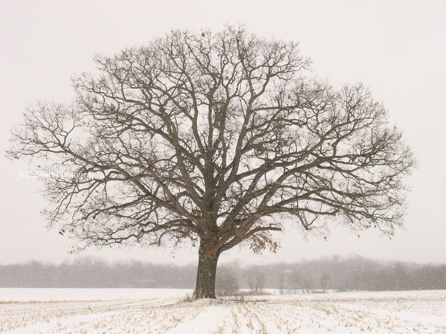 old tree in winter - Google Search   Trees   Pinterest ... Pictures Trees In Winter Pinterest