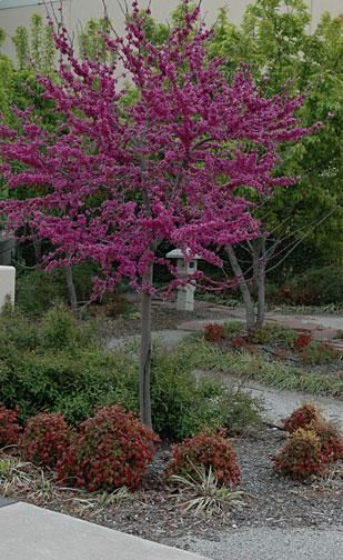 Dwarf Redbud Google Search With Images Redbud Tree Garden