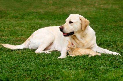 Yellow Labrador Retriever Labrador Retriever Dogs Dog Teeth Cleaning