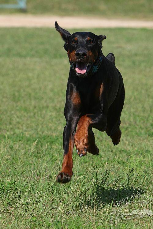 ドーベルマンの美しさ ドーベルマン、犬のトレーニング、犬