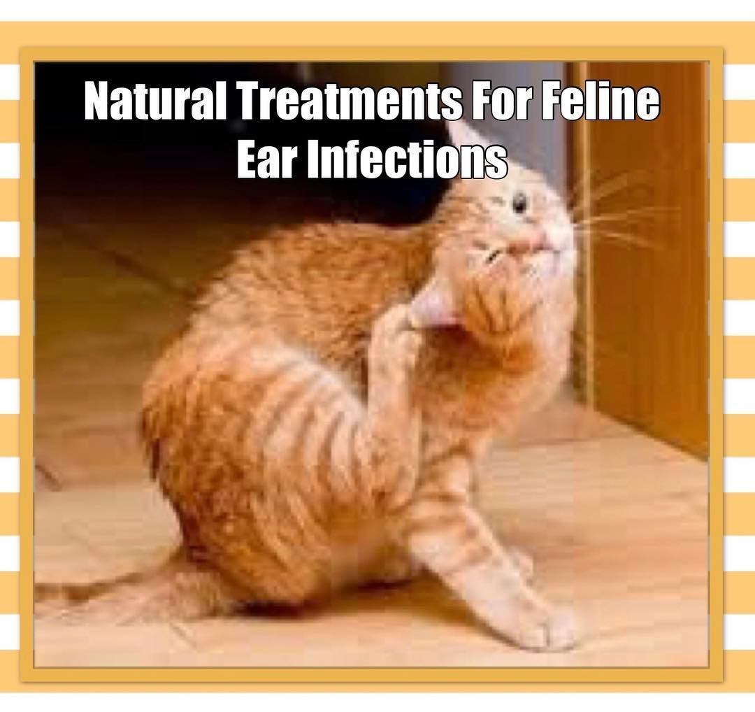 Ear Infections In Cats Cat Ear Infections Ear Infection Cat Health Problems