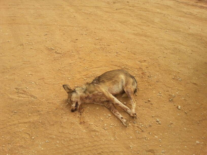 قتل ذيب شمال بمركز علقة التابع لمدينة الزلفي شبكة سما الزلفي Animals Kangaroo