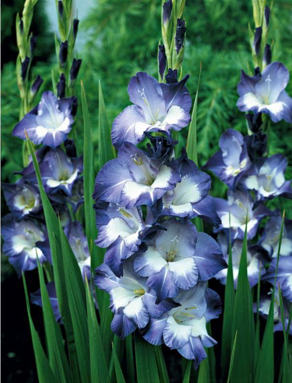 gla eul 39 nori 39 fleur de toutes couleur pinterest mon jardin plante potag re et glaieul. Black Bedroom Furniture Sets. Home Design Ideas