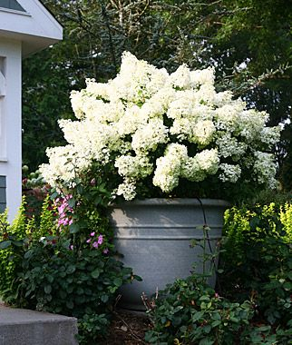 hydrangea paniculata bobo garden plants outdoor rooms. Black Bedroom Furniture Sets. Home Design Ideas