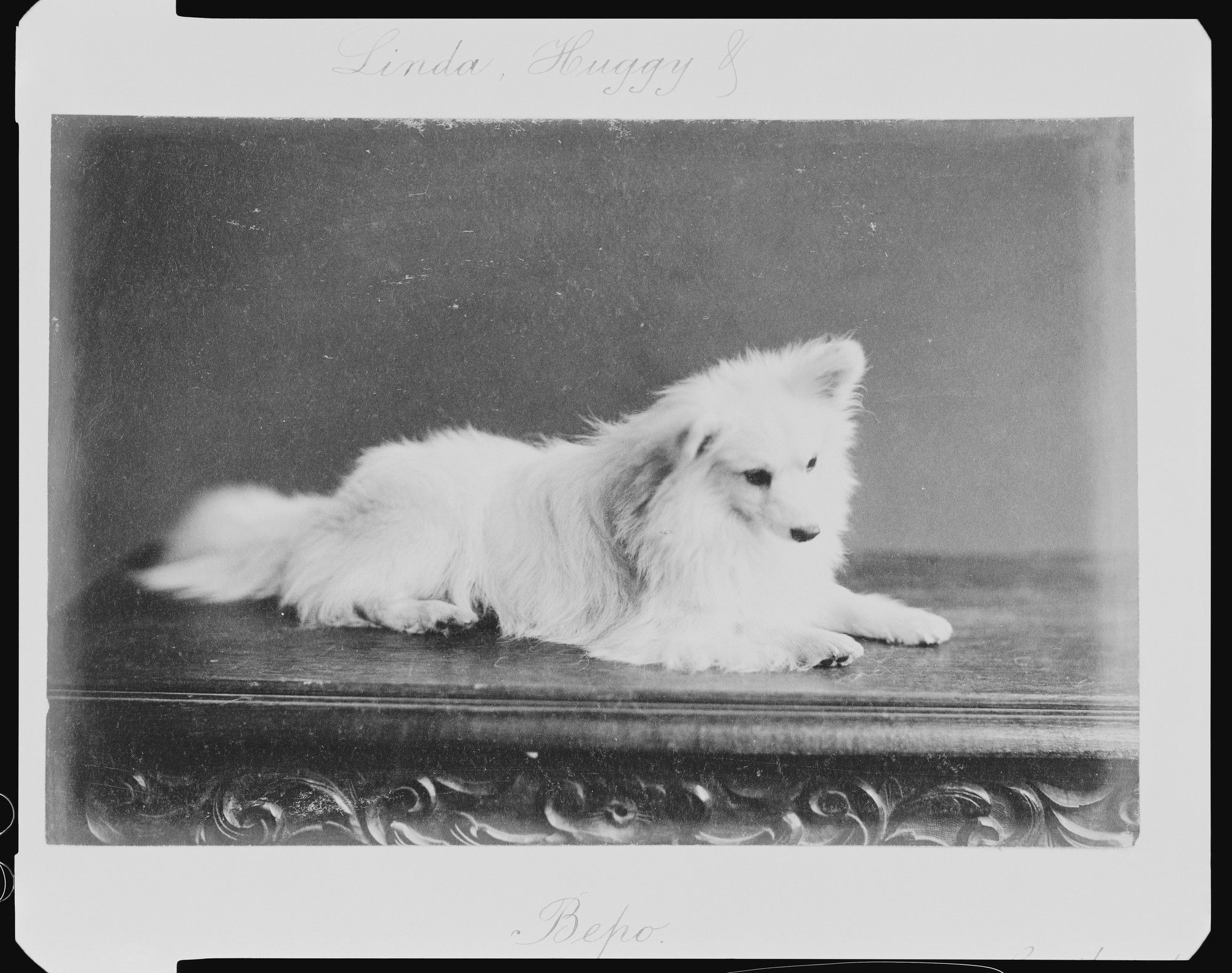 The Royal Collection Bepo Pet Dog Belonging To Queen Victoria 1891 American Eskimo Dog Vintage Dog Pets