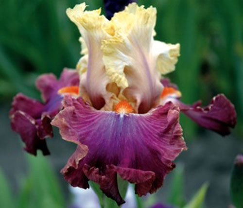 Tall Bearded Iris Love To Party Iris Flowers Flowers Orchid Care