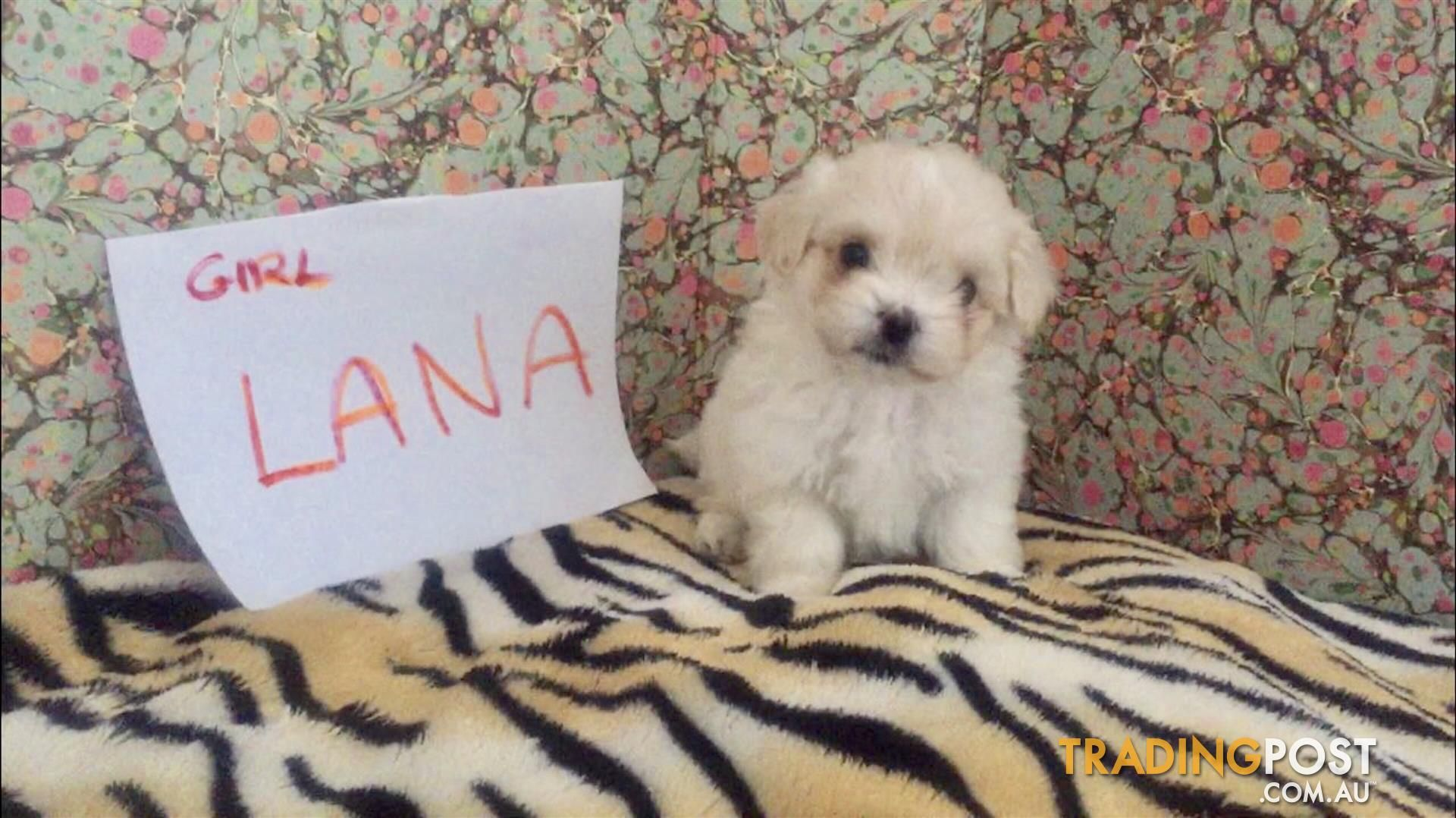 Pin By Karen Cartwright On Puppies Puppies Toy Poodle Poodle