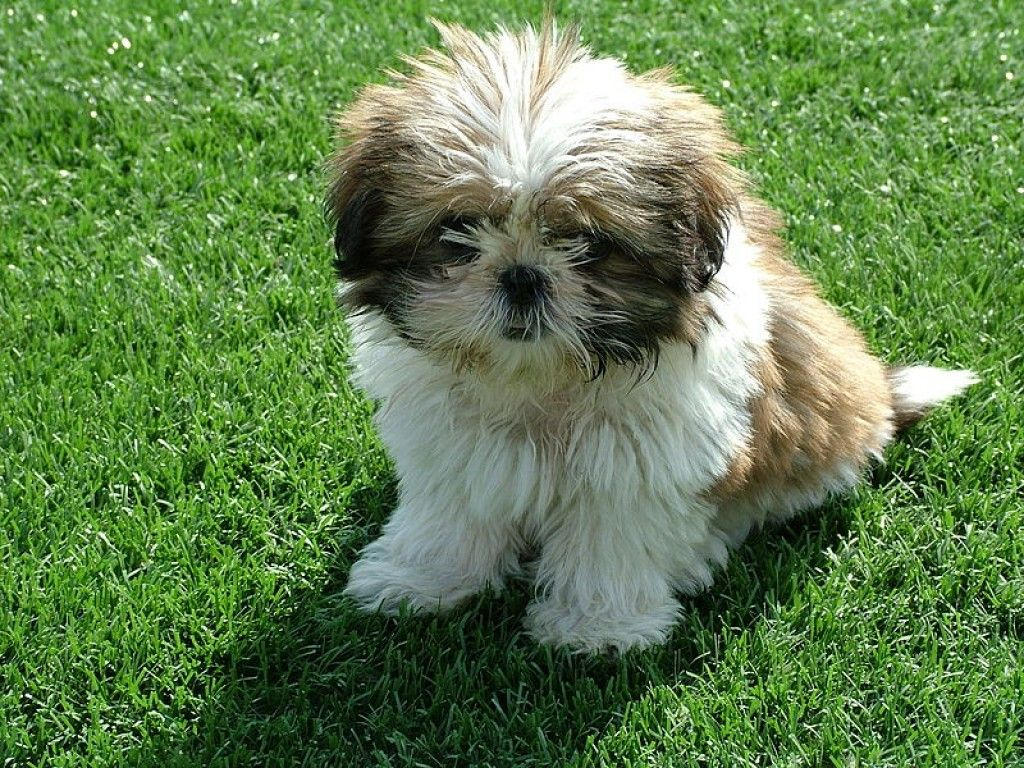 Non Shedding Dogs A List Of Small Mid Sized And Large Dogs That