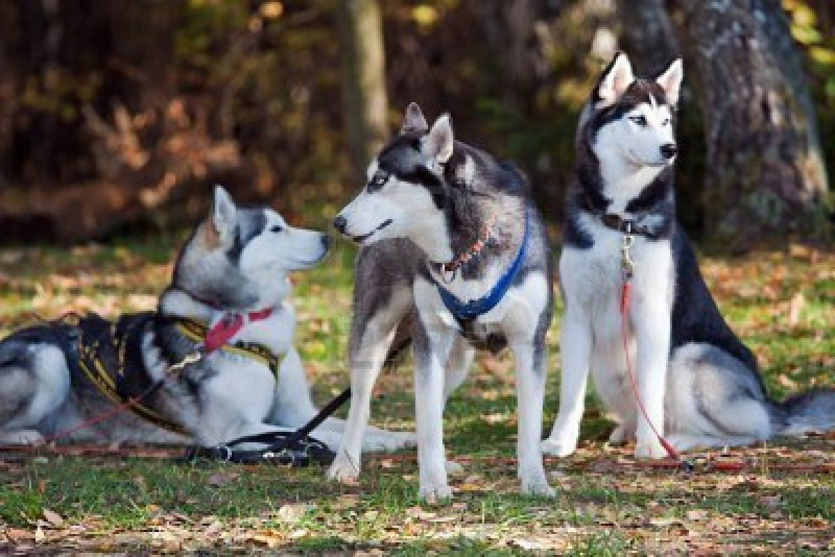 I Love Huskies They Are So Pretty My Favorite Dog Breeds Cute