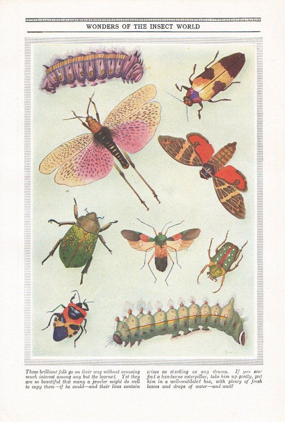 INSECTS of the world, Beetles Moth Caterpillar print, 1940s