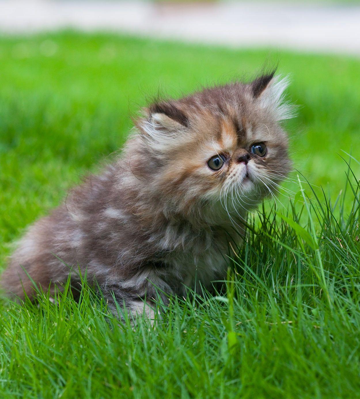 Persian Cat Names Over 200 Ideas! Cat noises
