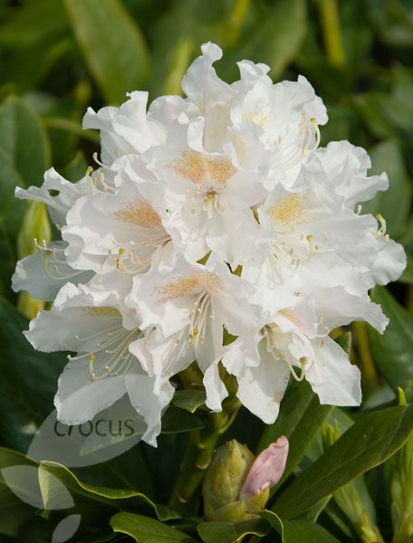 i planted rhododendron 39 cunningham 39 s white 39 where the. Black Bedroom Furniture Sets. Home Design Ideas