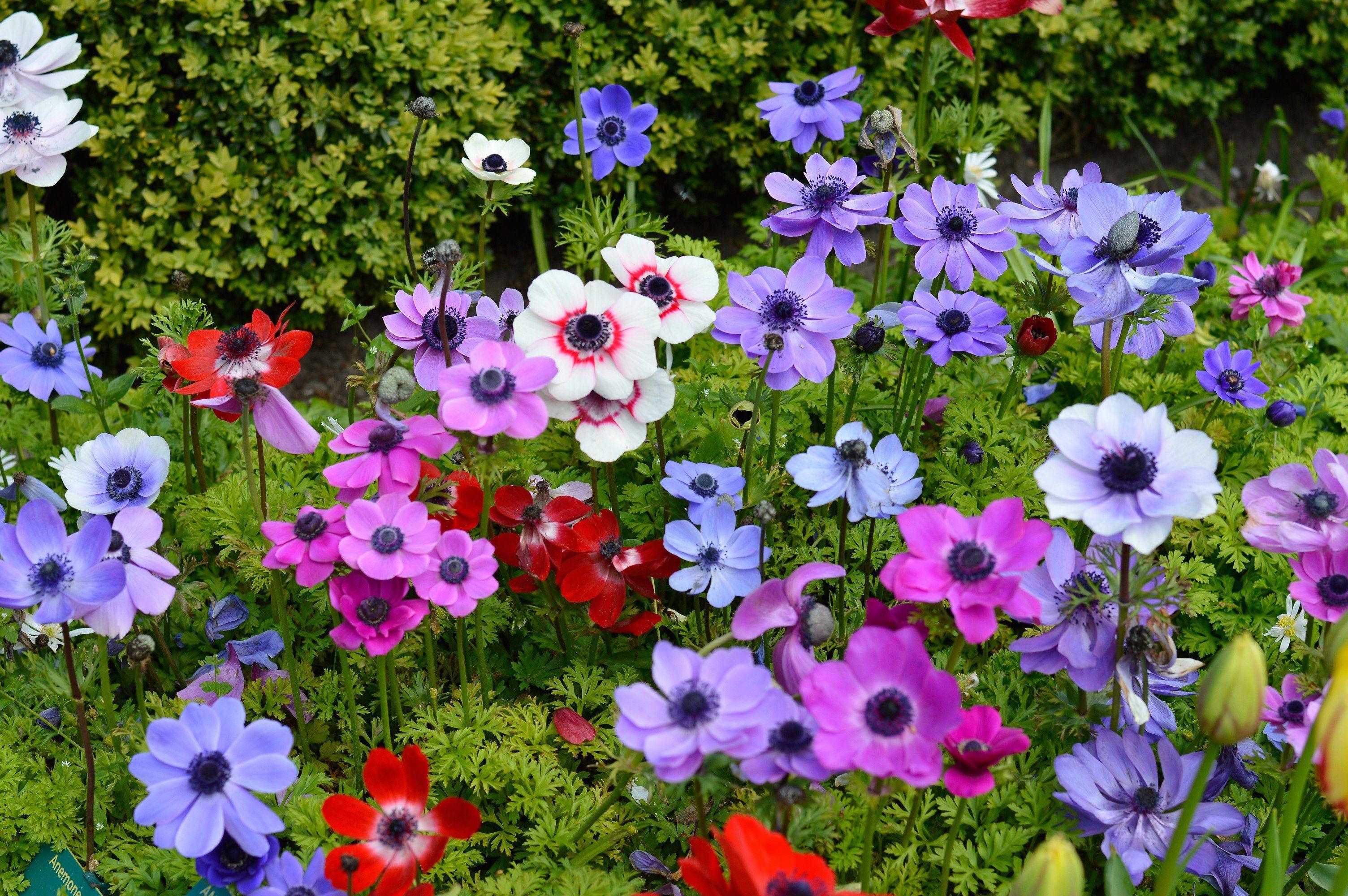 Image Result For Anemone Flower Bulb Flowers Anemone Flower Plant Flower Bulbs