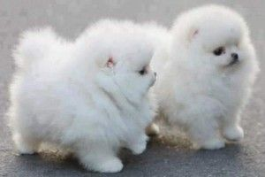 Fluffy Dogs Le Dog Breeds