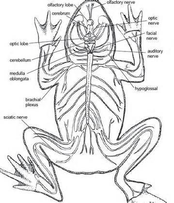 frogs nervous system yahoo image search results jolly study Nervous System Diagram Printable frogs nervous system yahoo image search results