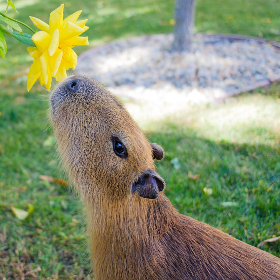 When She Wanted To Show The World That Capybaras Truly Appreciate All Nature Has To Offer With Images Capybara Cute Animals Animals Wild