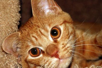 Orange Tabby Cat Breed Information Orange Tabby Cats Orange
