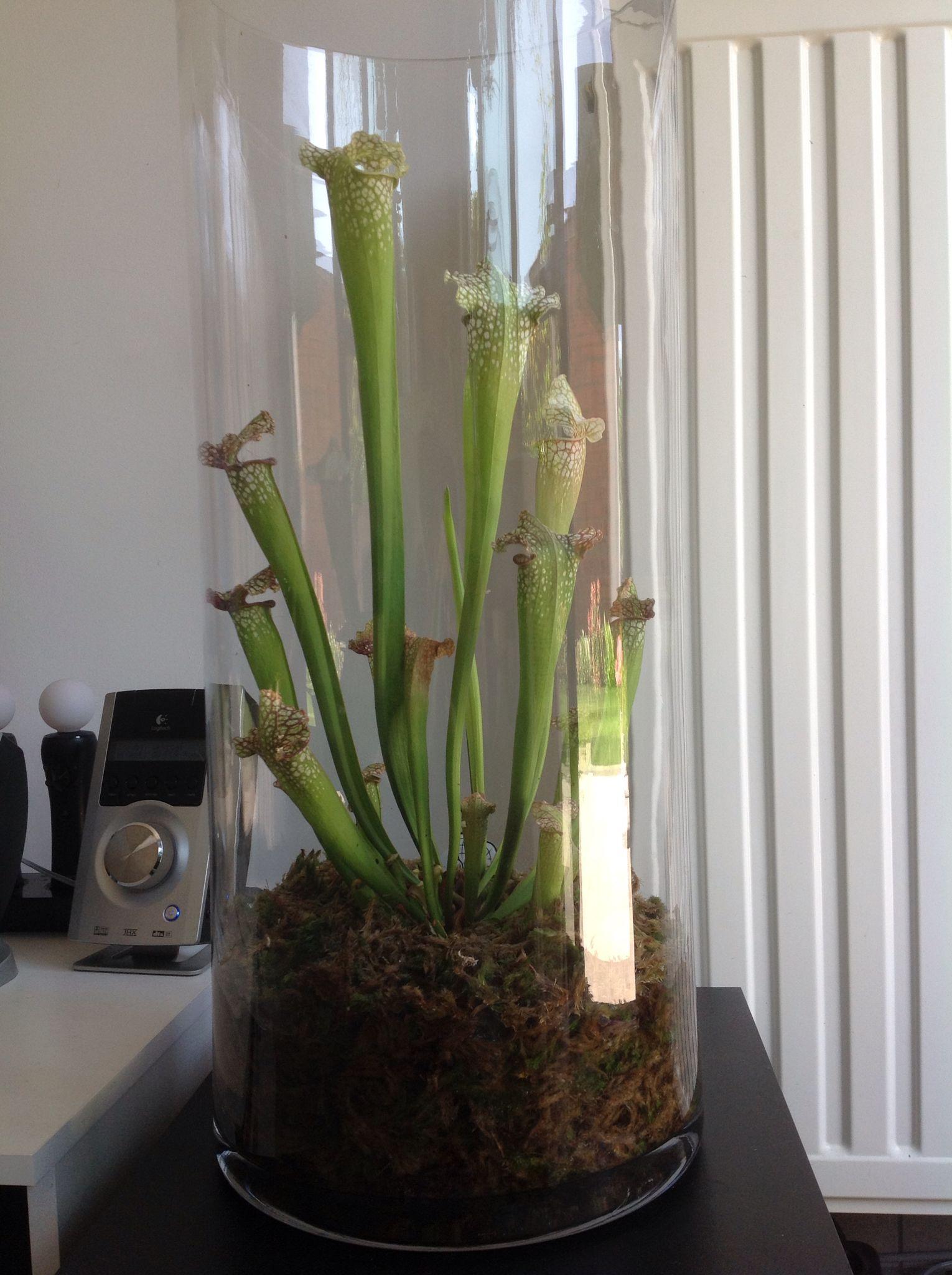Indoor House Plants Sarracenia Leucophylla Terrarium