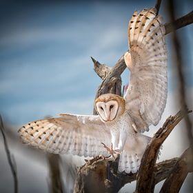 Barn Owl On The Hunt